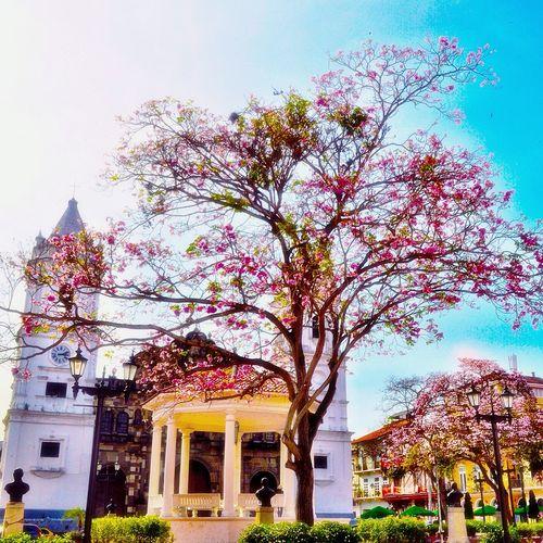 Nikon D5000 By Pit O. Parque Catedral Torres Iglesia árbol De Guayacan Rosado
