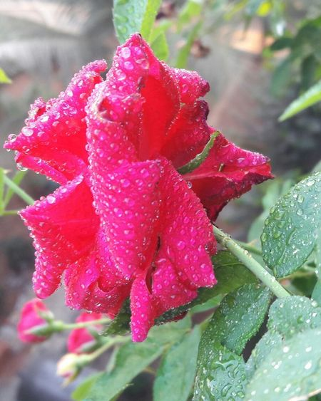 Wet Drop Nature Water Flower Freshness Fragility Petal Flower Head Beauty In Nature Plant Focus On Foreground Rain Growth Dew Close-up Outdoors RainDrop No People Day