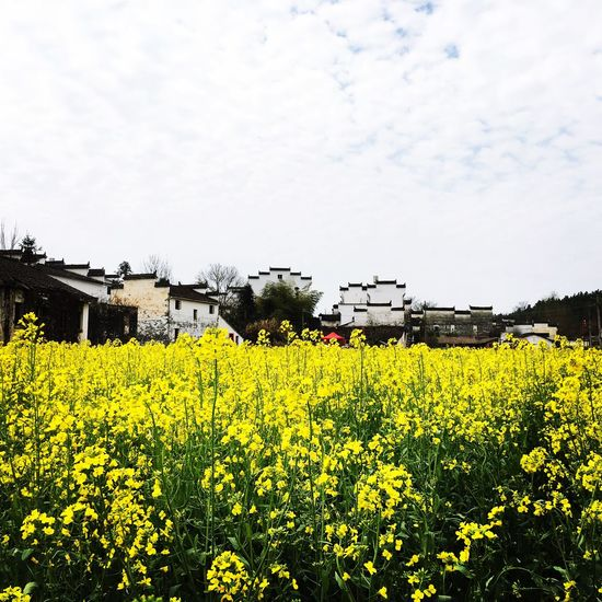 Yellow Agriculture Sky Rural Scene Beauty In Nature Architecture No People Built Structure