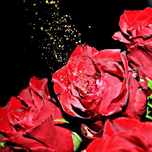 Close-up of wet red rose against black background