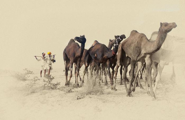 Camels in desert Camel Caravan Desert India Life In Desert Livestock Non-urban Scene Rajasthan