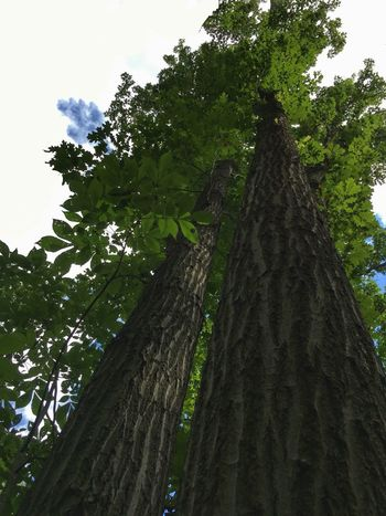 Towering trees Michigan Summer Large Trees Large Tree Trunk Looking Up Looking Up A Tree Grosse Ile