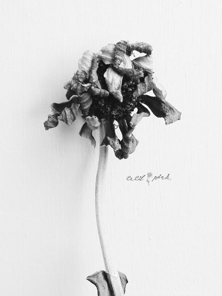 Wilted Zinnia Blackandwhite Photography Minimalism Wilted Flower