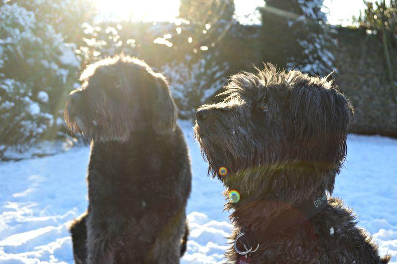 Tibetan terrier dogs on snow