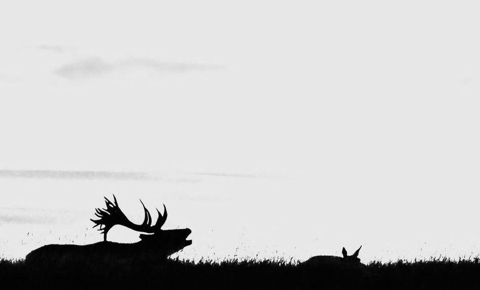 Monochrome Photography Deer