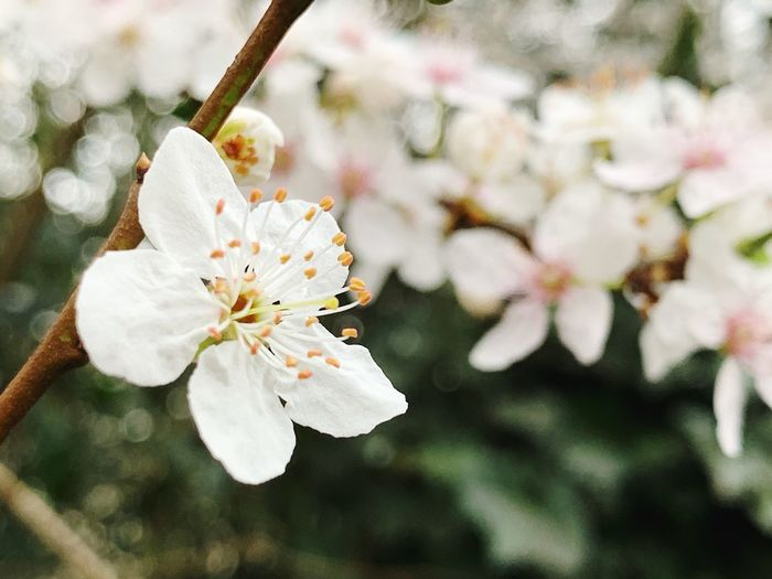 Flower Flowering Plant Fragility Plant Vulnerability  Beauty In Nature Freshness Petal Growth Inflorescence Flower Head Pollen Close-up White Color Springtime Focus On Foreground Blossom No People Nature Day Cherry Blossom Outdoors Plum Blossom Cherry Tree Softness Springtime Decadence