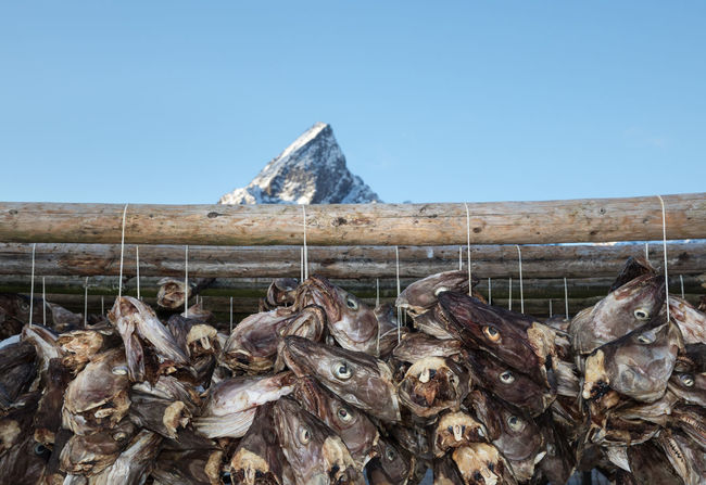 Fish heads hanging on rack for drying without preservatives Abundance Animal Head  Animal Themes Clear Sky COD Cold Temperature Dried Fish  Drying Fish Fishing Industry Food Food And Drink Hanging Large Group Of Objects Lofoten And Vesteral Islands Mountain Peak Nature Nordland County Outdoors Rack Raw Food Seafood Snowcapped Mountain Stockfish Winter The Great Outdoors - 2017 EyeEm Awards