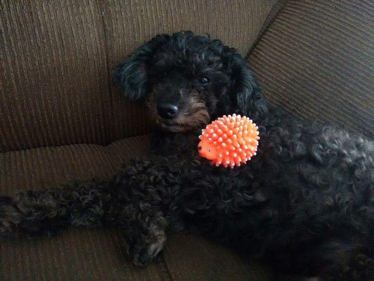 Dog Black Porcupine Toys