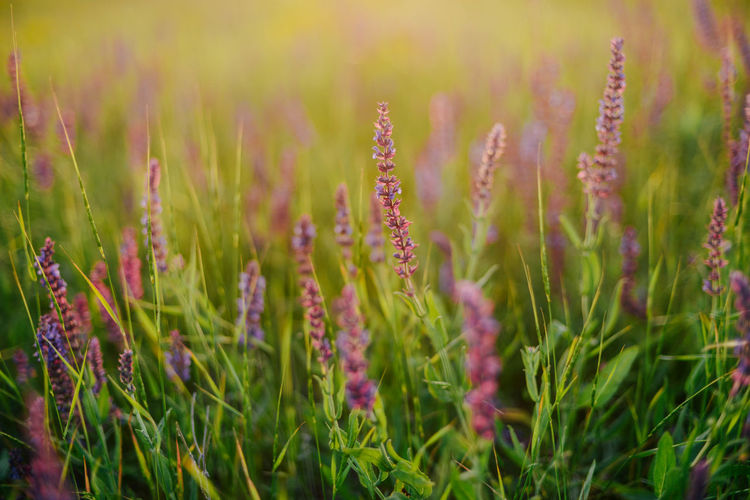 Beauty In Nature Close-up Day Field Flower Flowering Plant Fragility Freshness Grass Green Color Growth Land Nature No People Outdoors Plant Purple Selective Focus Tranquil Scene Tranquility Vulnerability