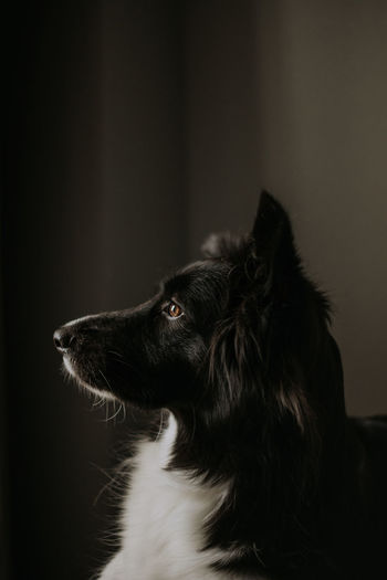 Close up portrait of dog. border collie in the dark room