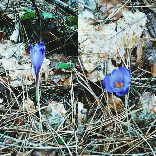 Crocus sativus Flowers Purple Crocus Sativus
