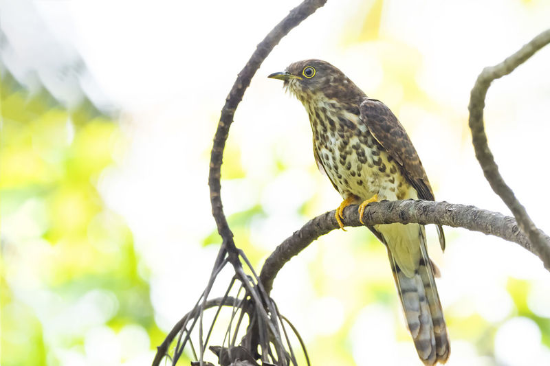 Common Hawk-Cuckoo (Hierococcyx varius) Vertebrate Animal Wildlife Animal Bird Animals In The Wild Animal Themes One Animal Perching Focus On Foreground Tree Branch Low Angle View No People Day Plant Close-up Nature Outdoors Bird On Branch