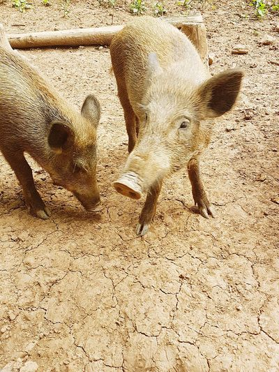 Sand Animals In The Wild Animal Themes Day Sunlight Animal Wildlife No People Outdoors Beach Nature Mammal Close-up Pigs♥ Piglet 🐷🐽 Pet Portraits