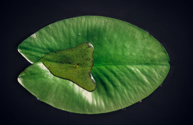 Nature Beauty In Nature Beauty In Nature Black Background Close-up Day Fragility Freshness Green Color Leaf Nature No People Outdoors Water Water Lily