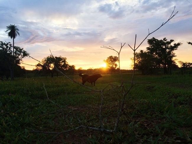Sunset Tree Sky Nature Field Cloud - Sky Tranquility Tranquil Scene Growth No People Outdoors Grass Beauty In Nature Landscape Scenics Domestic Animals Animal Themes Mammal Day
