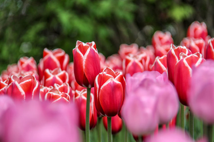 Tulips festival Green Color Blurred Background Tulipfestival Ottawainbloom Red Flower Flower Head Red Pink Color Close-up Plant Tulip In Bloom Petal Blossom Blooming