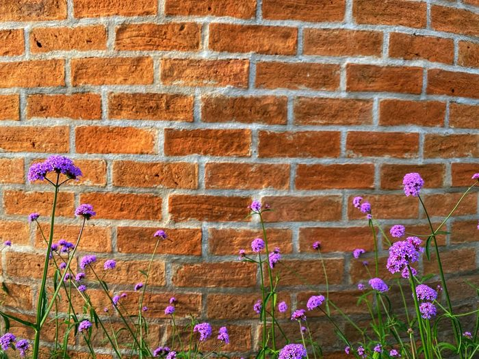 Close-up of pink flowering plant against brick wall