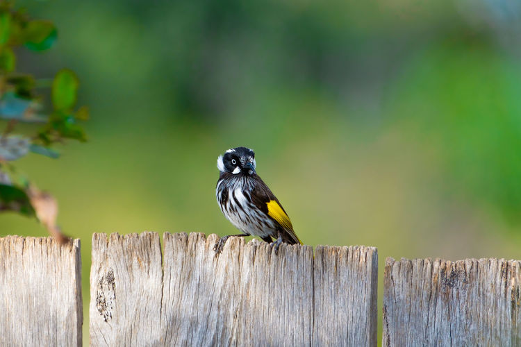 Bird perching on wooden fence