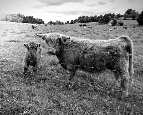 Cow Longhorn Domestic Animals Animal Themes Field Nature Domestic Cattle Mother Child Sauerland Brilon Calf Meadow Cloud Landscape Cattle Grass No People Rural Scene