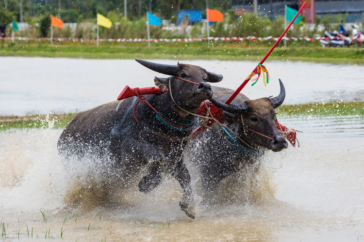 Bulls Running In Lake