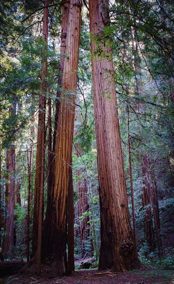 Amazing to think that redwoods are the tallest living things in the world. Enjoying Muir Woods. Hiking Getting Inspired EyeEm Best Shots Nature San Francisco Trees