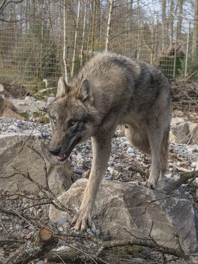 Wolf Dählhölzli Zoo Animal Animal Themes Day Dog Fur No People One Animal WOlves Wolf