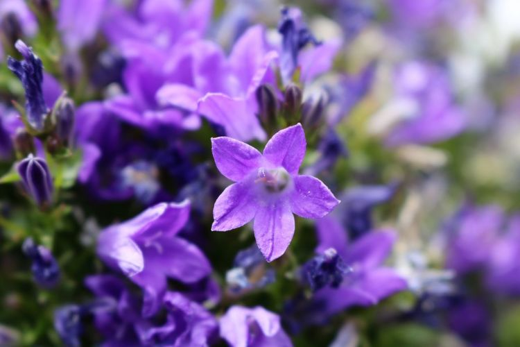 Beauty In Nature Day Flower Flower Head Flowering Plant Nature No People Outdoors Plant Purple Springtime