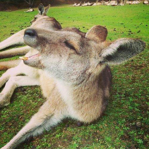 Relaxing Animals Kangaroo Tasmania