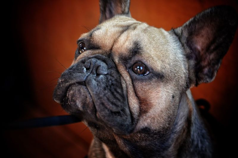 FRENCH BULLDOG One Animal Dog Domestic Animals Pets Close-up Looking At Camera Snout Loyalty Animal Head  No People
