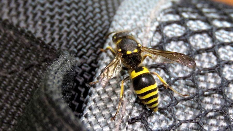 Injured wasp