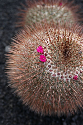 Close-up of pink cactus plant
