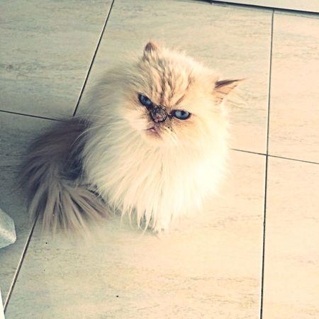 Persiancat Cats