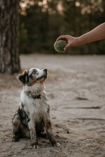 Dogs Ball Bluemerle Body Part Canine Day Dog Domestic Domestic Animals Fetch Finger Focus On Foreground Hand Human Body Part Human Hand Human Limb Land Mammal One Animal One Person Outdoors Pets Playing Real People Vertebrate