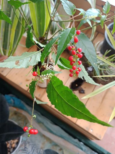 High angle view of berries on potted plant