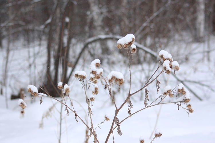 Close-up of wilted flower tree during winter