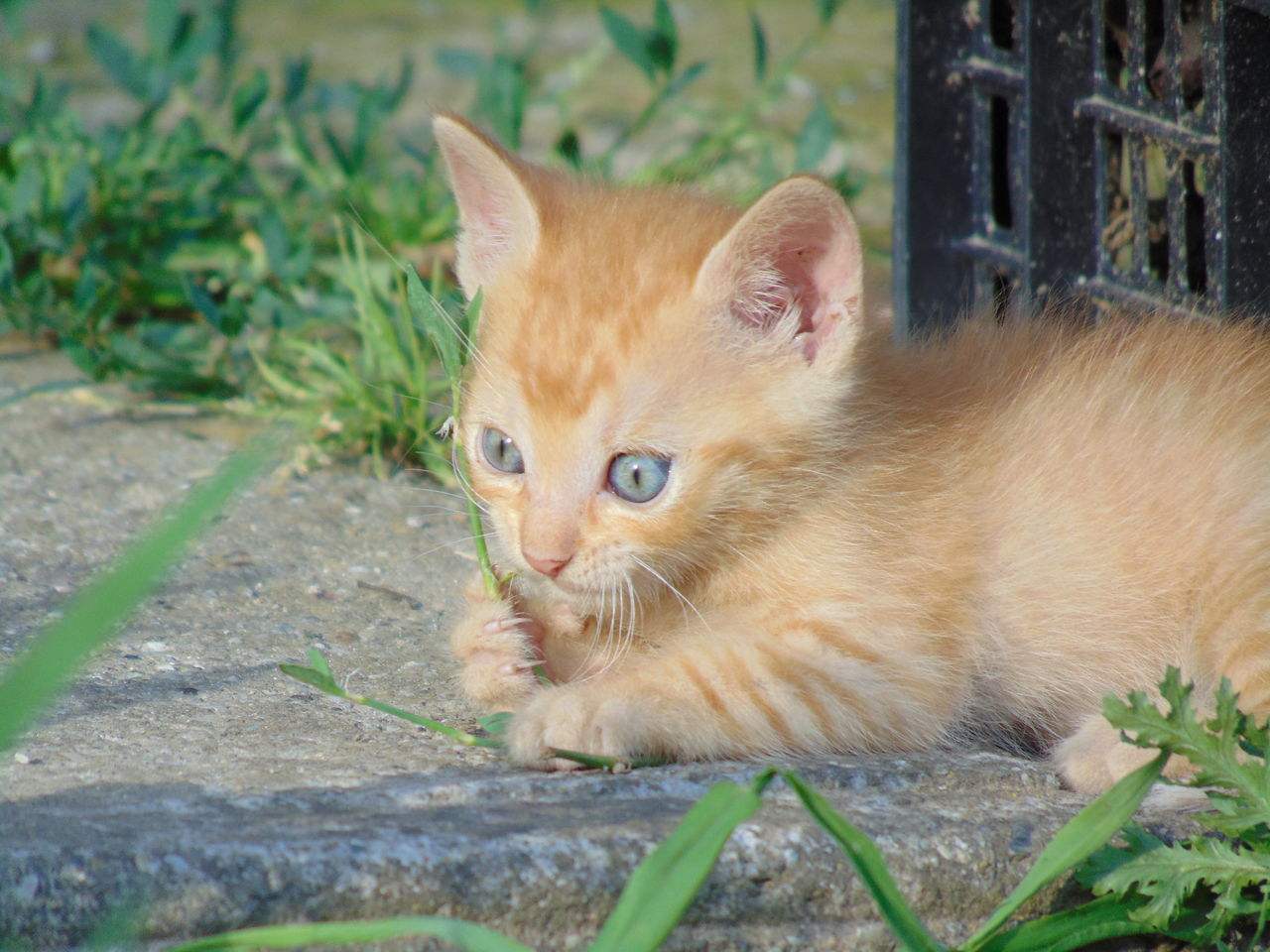 cat, mammal, feline, domestic cat, domestic animals, pets, domestic, one animal, vertebrate, portrait, looking at camera, whisker, no people, day, nature, close-up, plant, ginger cat