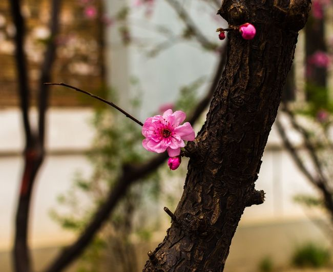 The Last one Standing Beauty In Nature Blooming Branch Close-up Day Flower Flower Head Focus On Foreground Fragility Freshness Growth Nature No People Outdoors Petal Pink Color Tree Tree Trunk
