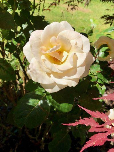 Sommer Rose 🌹 Plant Flowering Plant Flower Beauty In Nature Petal Vulnerability  Fragility Rosé White Color Flower Head No People Nature Freshness