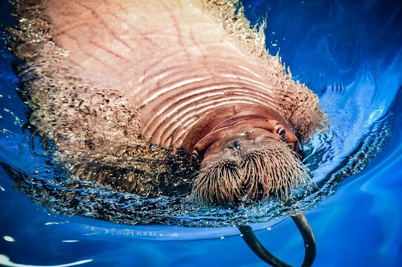 What a mustache Zoo Winter Animal Marine Mammals Mammal Pool Whiskers Tusk Tusks Mustache Animal Close Up Walrus Close-up No People Water Nature Animal Blue Animal Wildlife One Animal Animal Themes Blue Background Wet Underwater