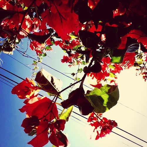 Bougainvillea EyeEm Nature Lover