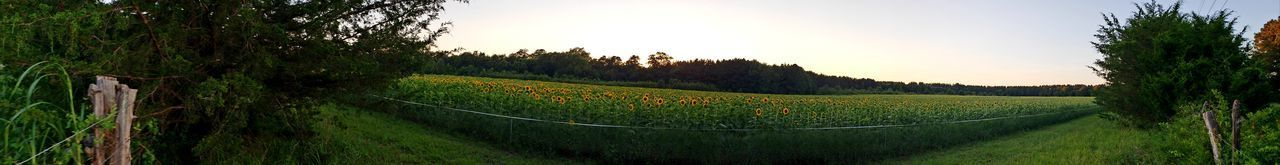 Sunflower Field Panoramic Countryside Sunflower Sunflowers Rows Nature Photography Perspectives on Nature Nature Nature_collection Panaroma Forest Photography AugustaGeorgia EyeEm Selects Augusta Tree City Tea Crop Rural Scene Agriculture Panoramic Terraced Field Mountain Field Crop  Cultivated Land Lush - Description Farm Farmland Sunset Sun Agricultural Field