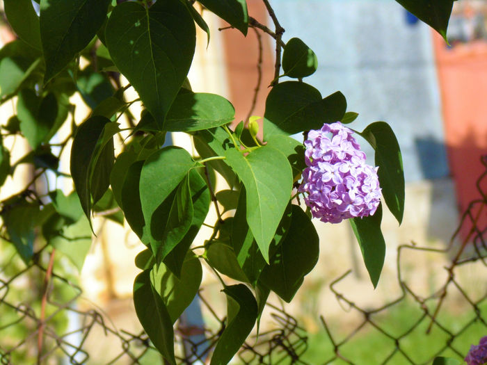 Lilac Bush Lilac Blossoms Lilac Flower Metal Fence Summertime Beauty In Nature Blooming Close-up Day Fence Flower Flower Head Green Leaves Leaf Leaves Lilac Lilac Flowers Lilac Tree Nature Outdoors Petal Plant Purple Spring Flowers Summer