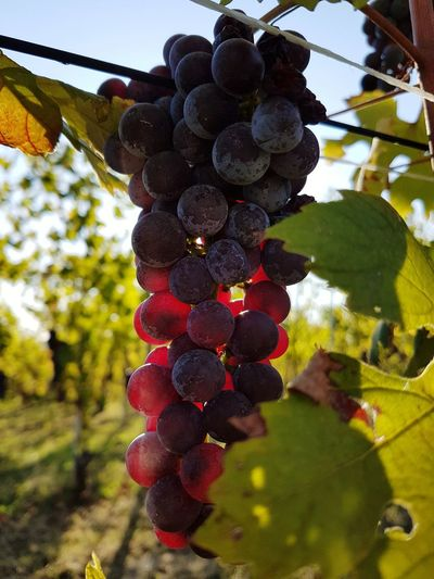 Fruit Grape Bunch Agriculture Food And Drink Growth Crop  Healthy Eating Vineyard No People Red Hanging Food Winemaking Freshness Vine - Plant Outdoors Plant Nature Leaf Travel Destination Piedmont Italy Langhe Harvest Time