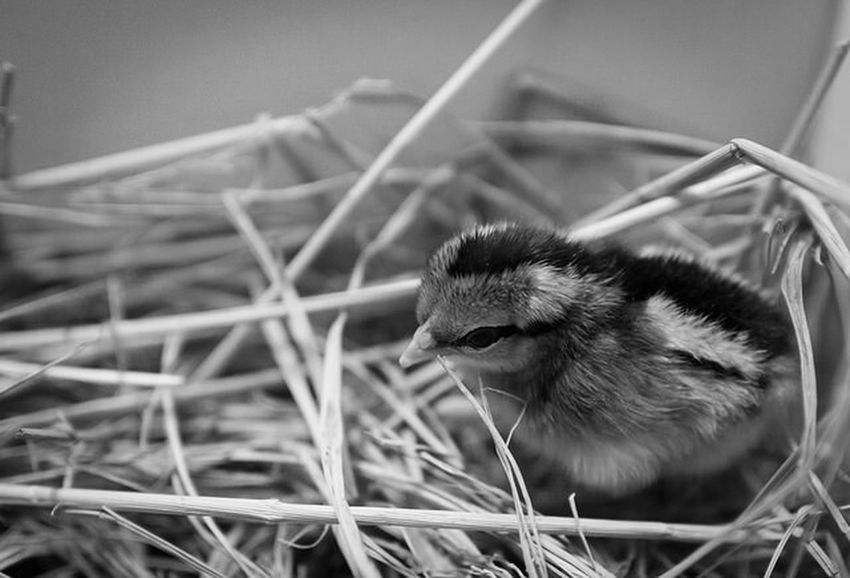 Where is my mother??? Chicken Lonely Canon600D Sigma30mm F1.4art