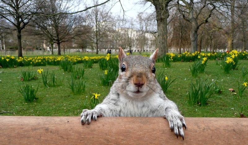 A nosy squirrel on a bench in St. James Park in London City Tourism London Streets Travel Destinations Neugier  Neugierde Neugierig Nosiness Niedlich Nosy Squirrel Feeding Time Cute Schüchtern St. James St. James's Park St. James Park Eichhörnchen Feeding Squirrels Eichhörnli Eating Eating Nuts Feeding Animals Feeding Squirrel CuriosityLONDON❤