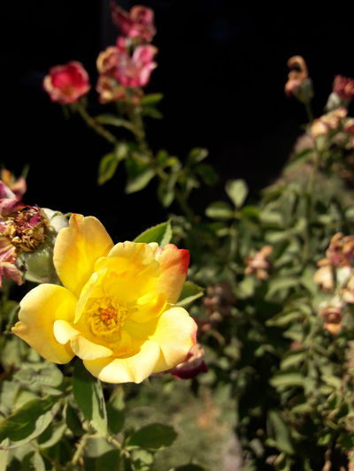 Flower Plant Petal Flower Head Nature Yellow Beauty In Nature Growth Fragility Outdoors No People Close-up Freshness Day Black Background Prickly Pear Cactus