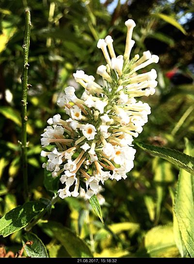 Flower Nature White Color Growth Plant Beauty In Nature No People Petal Day Blossom Fragility Close-up Outdoors Focus On Foreground Freshness Flower Head Stamen Branch Blooming