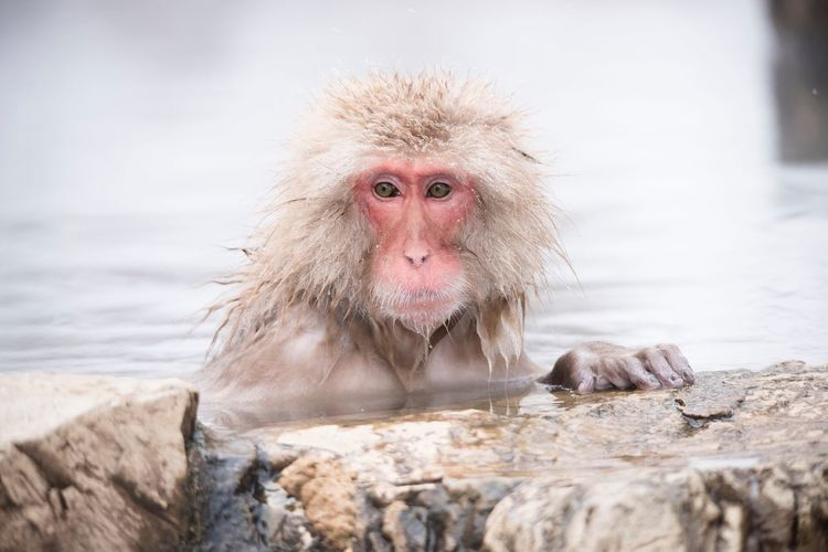 Snow Monkey Mountain Water Monkey Mammal Animals In The Wild Animal Themes Rock - Object One Animal Day Looking At Camera Outdoors Focus On Foreground Animal Wildlife No People Portrait Nature Hot Spring Close-up