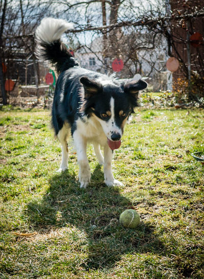 border collies play in the yard on a sunny spring day. Animal Themes Border Collie Border Collie Mix Day Dog Domestic Animals Mammal Morning Nature No People Outdoors People Pets Play Spring Tree Yard