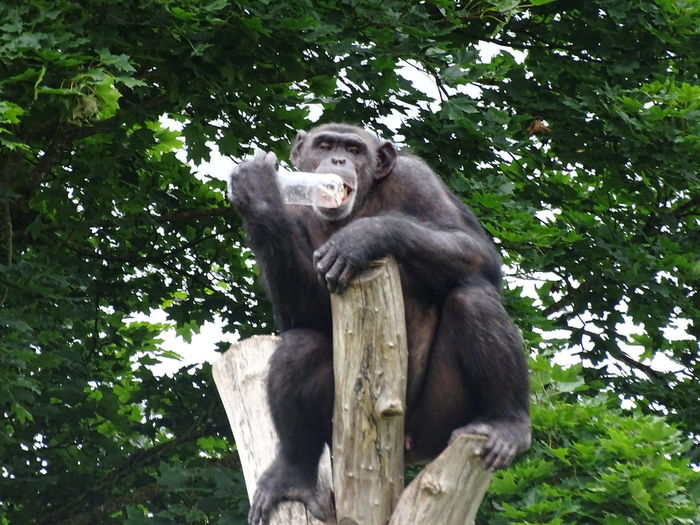 Animal Themes Animal Wildlife Animals In The Wild Ape Branch Chimpanzee Day Gorilla Low Angle View Mammal Monkey Nature No People One Animal Outdoors Primate Sitting Tree